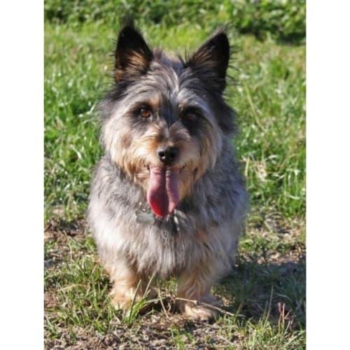 Delilah - Australian Terrier Dog