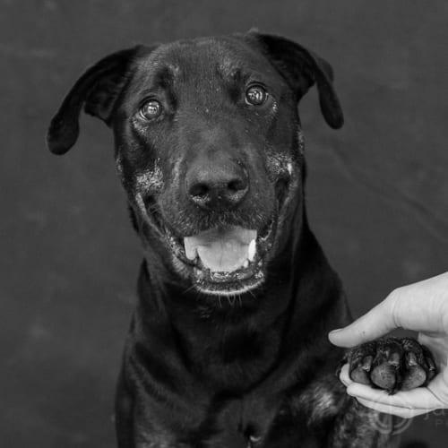 Bree - Bull Terrier x Labrador Dog