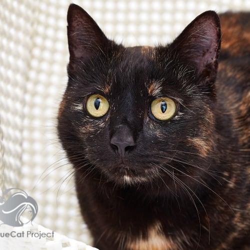 Stella Star - Domestic Short Hair Cat