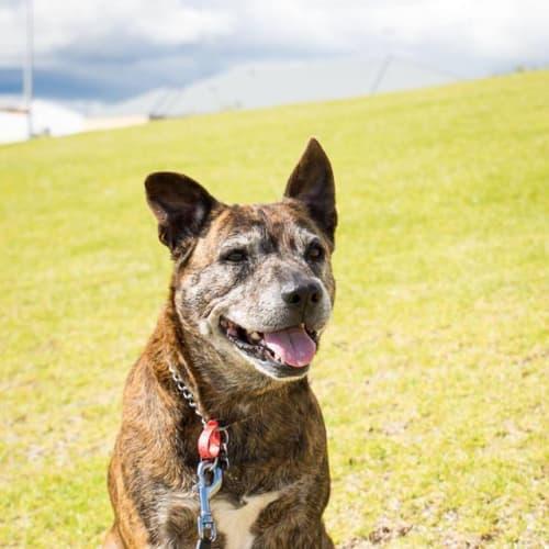 Angus - Kelpie x American Staffordshire Bull Terrier Dog