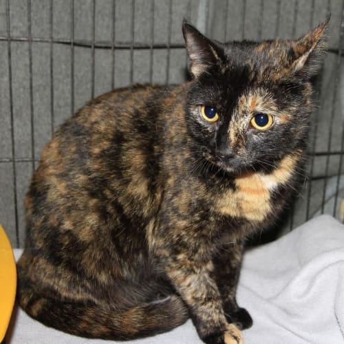 Giselle  - Domestic Short Hair Cat