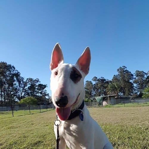 Adoptabull - Razor  - Bull Terrier Dog