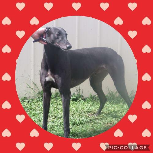 Bugs - Greyhound Dog