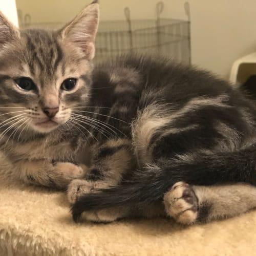 Chuck Bass - Domestic Short Hair Cat