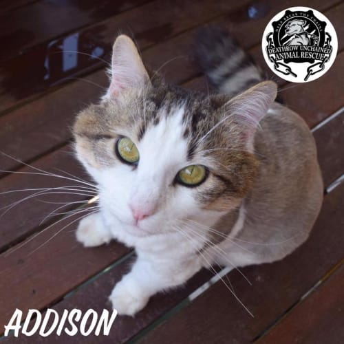 Addison - Domestic Medium Hair Cat