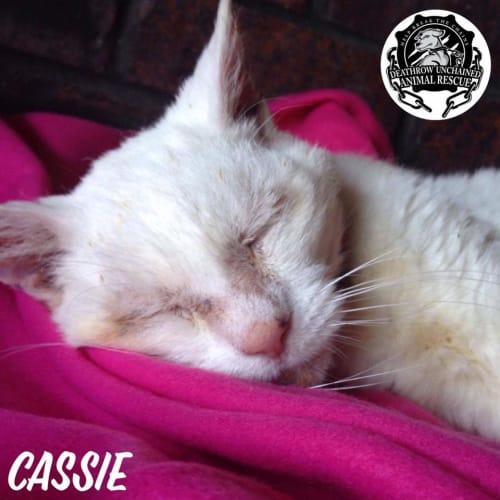 Cassie - Domestic Short Hair Cat