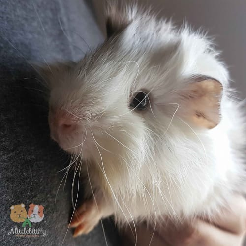 Sarge - Abyssinian Guinea Pig