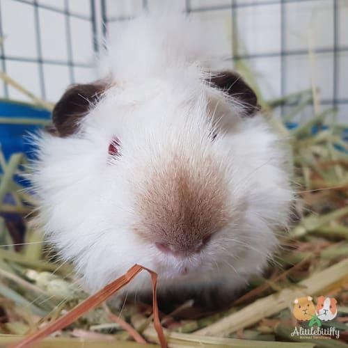 GusGus - Abyssinian Guinea Pig