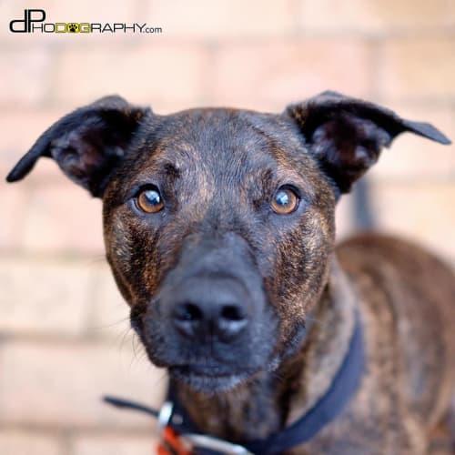 Zephyr (Adoption Pending) - Staffordshire Bull Terrier Dog