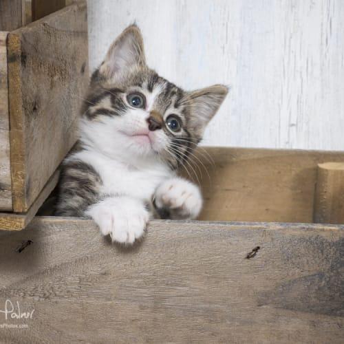 Blair Waldorf  - Domestic Short Hair Cat