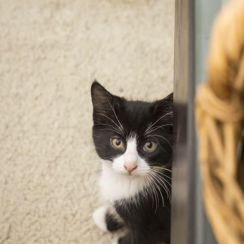 Rufus Humphrey - Domestic Short Hair Cat