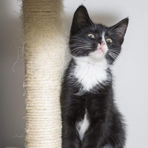 Dan Humphrey - Domestic Short Hair Cat