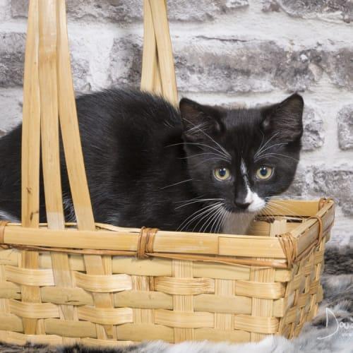 Lily van der Woodsen - Domestic Short Hair Cat