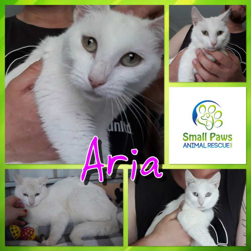Aria - Domestic Short Hair Cat
