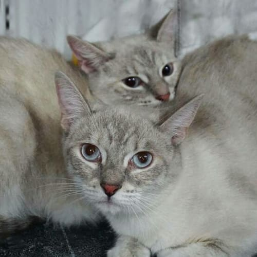 Feather and Ava - Ragdoll Cat