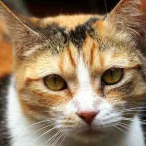 Mischa - Domestic Short Hair Cat