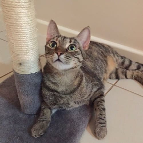 Clementine (C2607) - Domestic Short Hair Cat