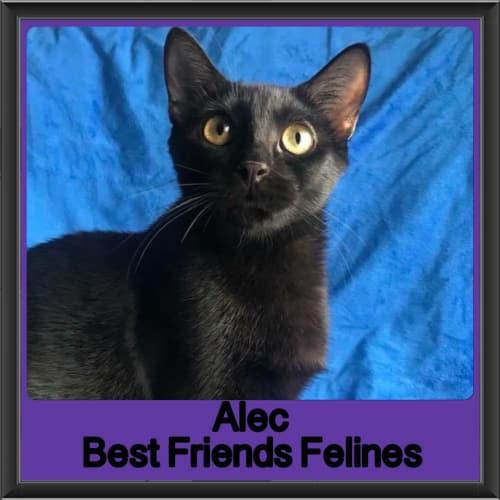 Alec - Domestic Short Hair Cat