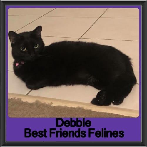 Debbie - Domestic Short Hair Cat