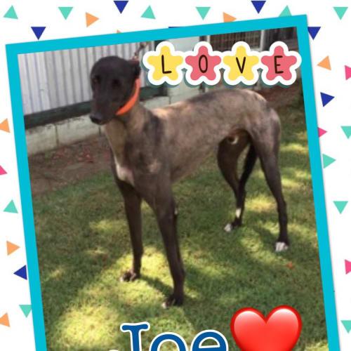 Joe - Greyhound Dog