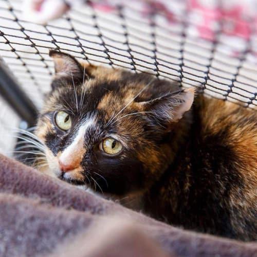517 - Lizzie - Domestic Short Hair Cat