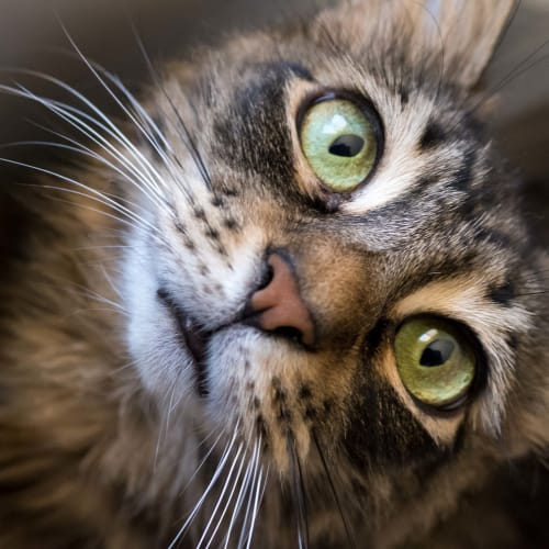 Ally - Foster or Adopted Me! - Domestic Long Hair Cat
