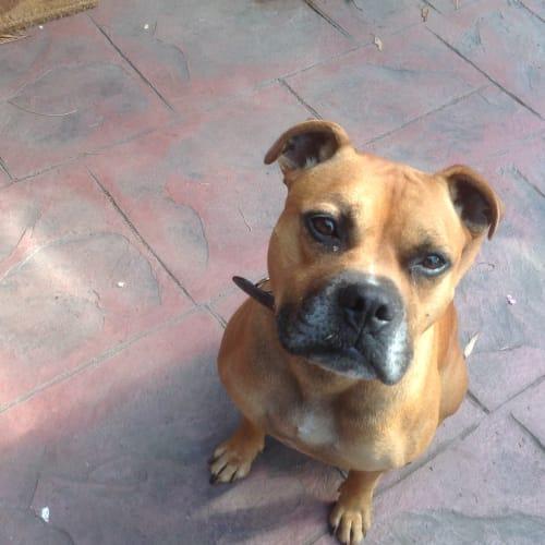 Dallas Umberto - Staffy Dog