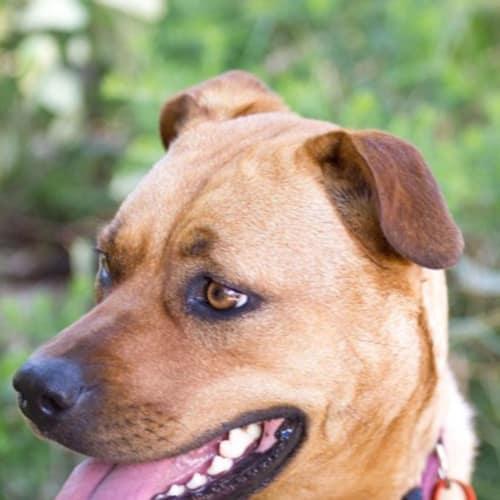 Sage - Staffordshire Bull Terrier x Shar Pei Dog