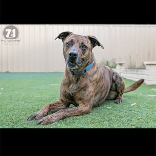 Buster - American Staffordshire Terrier x Mastiff Dog