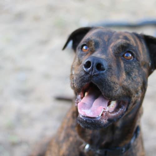 Toretto - Boxer x Staffordshire Bull Terrier Dog