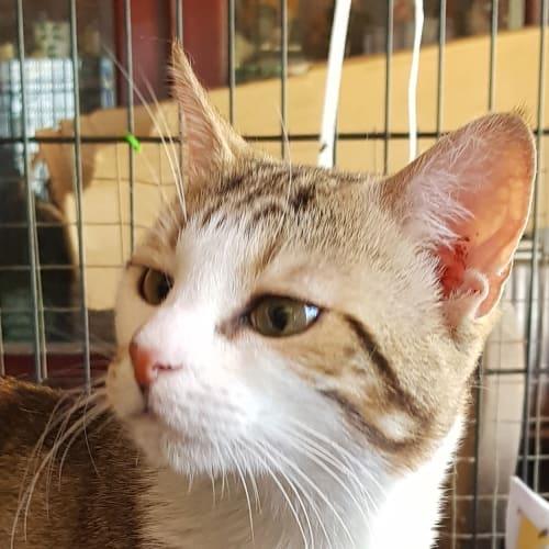 Kirk - Domestic Short Hair Cat