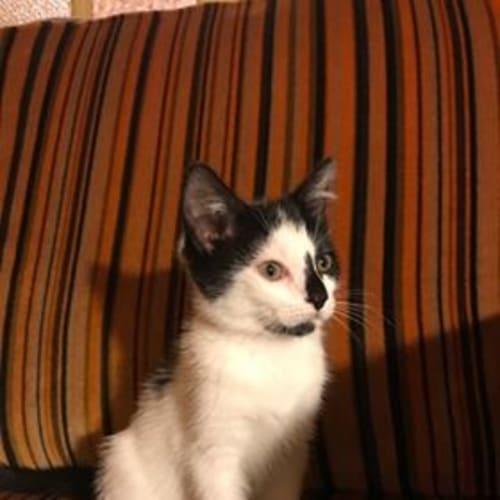 Queenie - Domestic Long Hair Cat