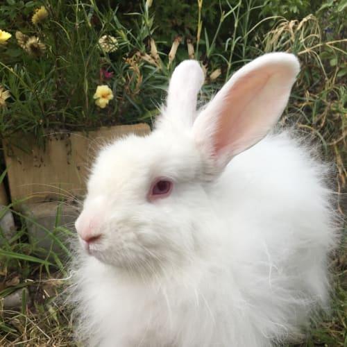 Fluffy - Cashmere Rabbit