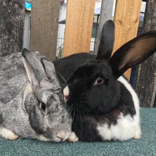 Maggie & Theo  - Flemish Giant Rabbit