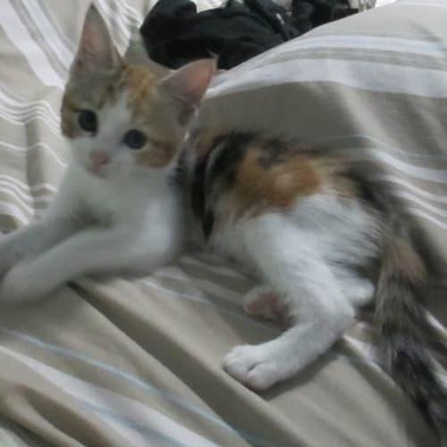 Mambo - Domestic Short Hair Cat
