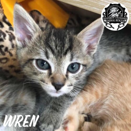 Kitten - Domestic Short Hair Cat