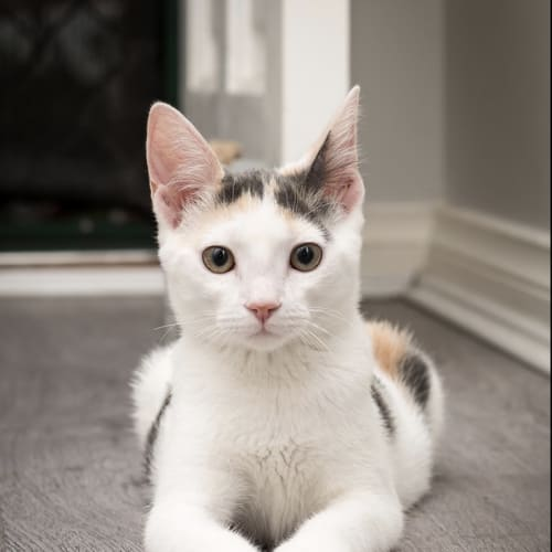 Chance - Domestic Short Hair Cat