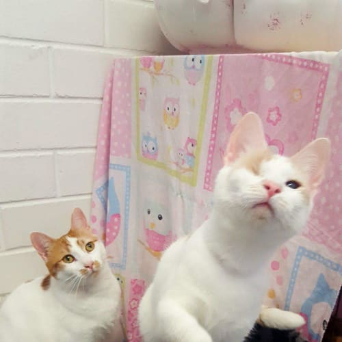 Isabella and lucia - Domestic Short Hair Cat