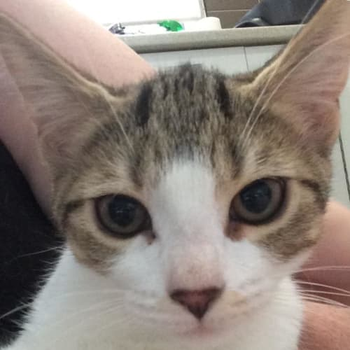 Molly (Located in Croydon North) - Domestic Short Hair Cat