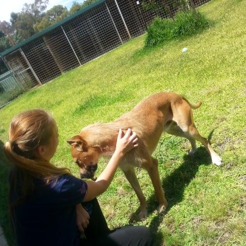 Benson - Irish Wolfhound Dog