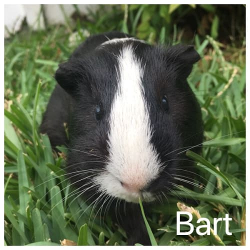 Bart  - Smooth Hair Guinea Pig