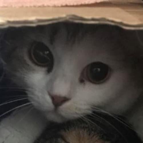 Munchkin - Located in Brunswick West - Domestic Medium Hair Cat