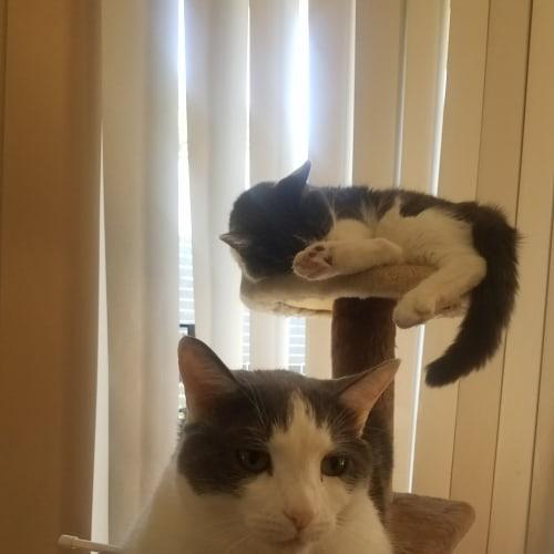 Otis and Fuji - Domestic Medium Hair Cat