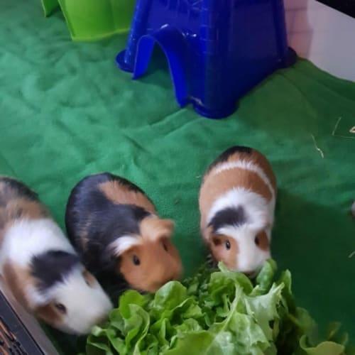 Draco, Ginny & Luna  - Crested Guinea Pig