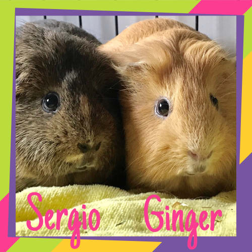 Sergio and Ginger -  Guinea Pig