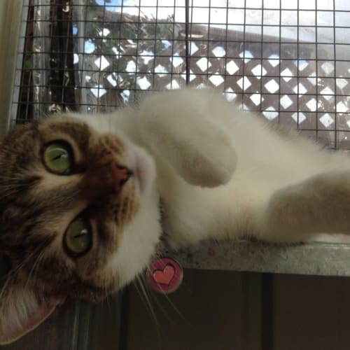 Tammy - How Can Tammy Be Overlooked For So Long - Domestic Short Hair Cat