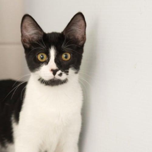 Ivy NK2309 - Domestic Short Hair Cat