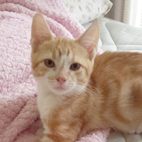 Gromet - Domestic Short Hair Cat