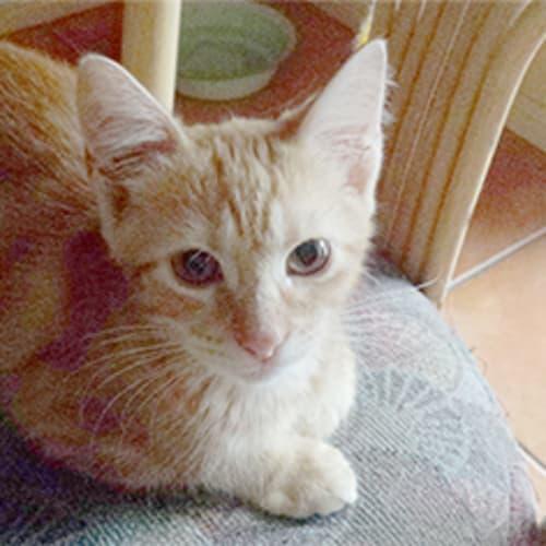 Pebble - Domestic Short Hair Cat