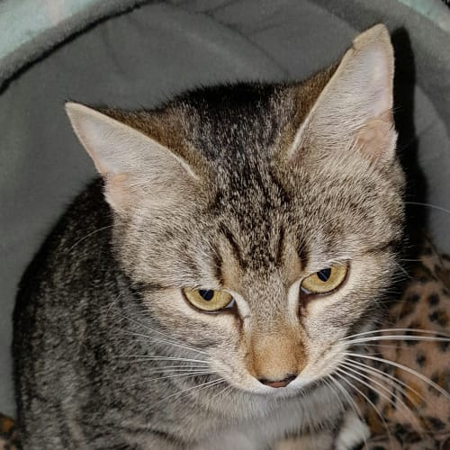 Cappuccino (Located in Beaufort) - Domestic Short Hair Cat
